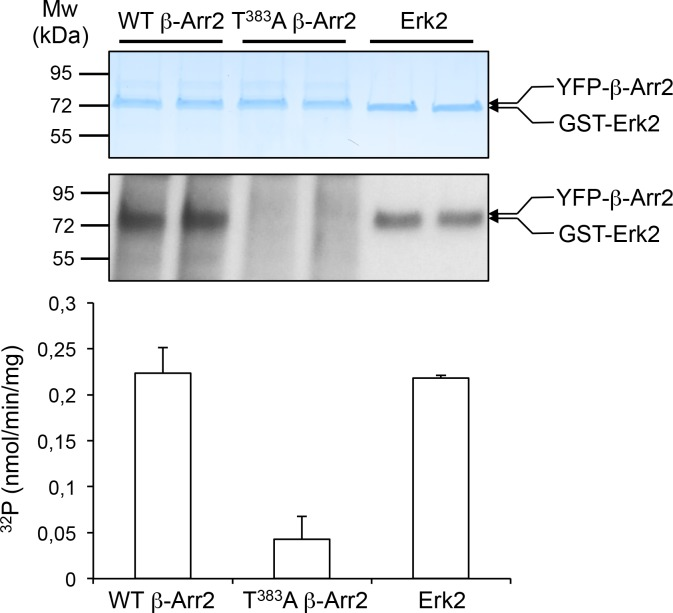 In vitro phosphorylation of β-arrestin2 versus Erk2 by MEK1. YFP-tagged β-arrestin2 (wild-type or Thr 383 Ala mutant) purified from transfected HEK-293 cells or purified non-activated Erk2 (~1 µg each) were incubated with active MEK1 in presence of [γ- 32 P]-ATP (2 µCi/nmol) for 10 min at 37°C. Proteins were separated by SDS-PAGE and stained with Coomassie colloidal blue (top image) and 32 P incorporation into the different substrates was monitored by autoradiography (bottom image). The data in the histogram, expressed in nmol/min/mg enzyme, represent the means ± SD of 32 P incorporation into β-arrestin2 and Erk2 protein bands in the corresponding experiment after radioactive background subtraction for each lane. DOI: http://dx.doi.org/10.7554/eLife.23777.015 10.7554/eLife.23777.016 This file contains raw values used to build Figure 2—figure supplement 3 . DOI: http://dx.doi.org/10.7554/eLife.23777.016