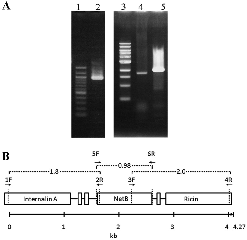 PCR analysis of netB region of Clostridium perfringens isolate P-962. (A) result of a PCR assay with primers designed to amplify 963-, 1,829- and 2,012-bp PCR products corresponding to netB (2), the upstream (4) and downstream (5) fragments of netB gene. 100-bp ladder (1) and 1-kb (3) DNA markers are shown on the left of each gel. (B) Schematic diagram showing the location of each primer in P-962 DNA. The numbers with broken line indicate the length (kb) of PCR product amplified by the corresponding primers. The numbers with an arrow indicate kb.