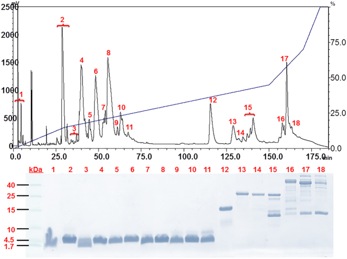 Elution profile of Tropidolaemus wagleri crude venom on reverse-phase C 18 <t>HPLC</t> (upper panel) and further separation by glycine SDS-PAGE (lower panel). Two milligrams of T. wagleri venom (from 6 female specimens, Perak, Malaysia) were separated on a Lichrosphere ® RP100 C 18 column following the chromatographic conditions: 5% B for 10 min, 5–15% B for 20 min, followed by 15–45% B for 120 min and 45–70% B for 20 min. The chromatographic fractions were collected manually at 215 nm absorbance and the lyophilized fractions were further electrophoresed on glycine SDS-PAGE (18%, reducing condition). The protein bands were visualized by Coomassie blue staining. Low range protein marker was used as molecular mass standard (from 1.7 to 40 to <t>kDa).</t>