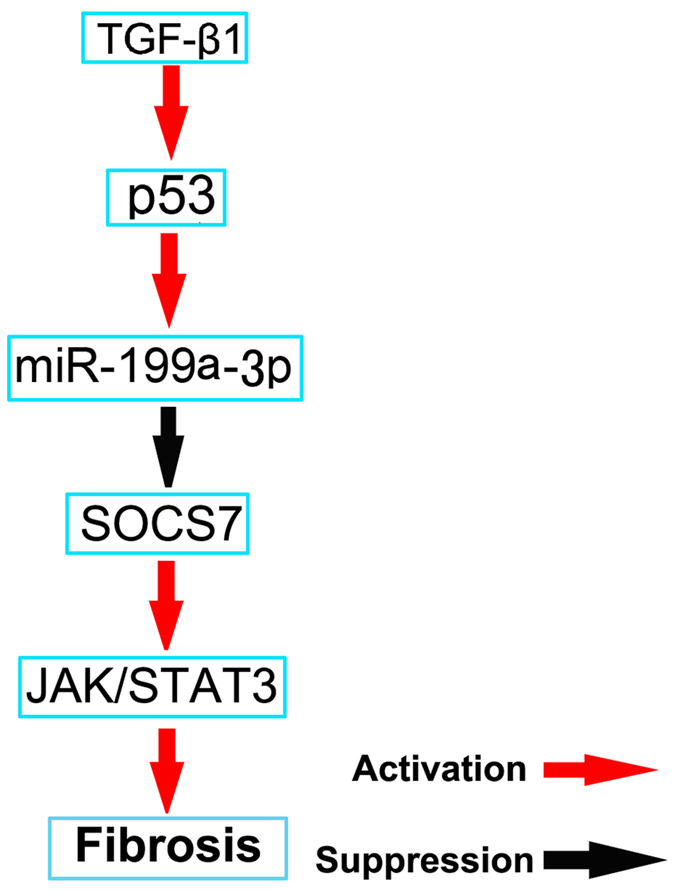 The role and molecular mechanism of p53 in UUO-induced renal fibrosis. TGF-β1 increased miR-199a-3p expression by induction of p53. Furthermore, miR-199a-3p directly suppressed SOCS7 expression, which led to activation of STAT3 and upregulation of the production of probrotic proteins.
