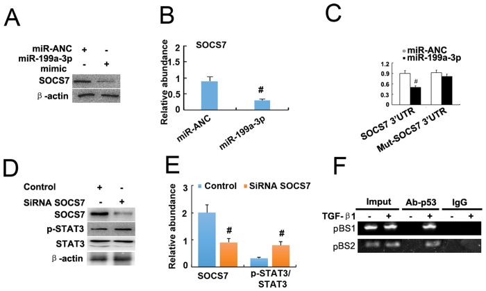 MiR-199a-3p suppressed SOCS7 to increase STAT3 activation. Cultured HK-2 cells were treated with transfection of miR-199a-3p or negative control analog or SOCS7 siRNA, followed by immunoblot for p-STAT3, STAT3, and ECM genes, and immunoprecipitation with antibodies to p53. ( A ) Relative protein levels of SOCS7 and β-actin 24 hours after transfection of miR-199a-3p analog (100 nM) or miR-ANC, densitometry ( B ) of proteins signals on immunoblots. ( C ) Detected luciferase activity 24 hours after cotransfection of miR-199a-3p analog (100 nM) or miR-ANC with SOCS7 3 'UTR luciferase reporter vector. ( D ) Relative protein levels of p-STAT3 (Tyr705) and STAT3 24 hours after the transfection of SOCS7 siRNA or siRNA-NC, densitometry ( E ) of proteins signals on immunoblots. ( F ) ChIP assays for p53 were performed with chromatin material isolated from HK2 cells treated with TGF-β1. Precipitated DNA was amplied with oligonucleotides spanning regions of the potential p53 binding sites1 and 2 (pBS1and pBS2); total inputs were indicated. The antibody against p53 immunoprecipitated the DNA fragments from HK2 cells containing the potential pBS1and pBS2. Data were expressed as means ± sd (n = 6); # p