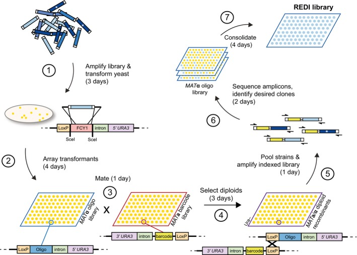 Recombinase Directed Indexing (REDI) for high‐quality DNA libraries (1) A complex library (e.g. array‐synthesized oligonucleotide DNA) is amplified by PCR and integrated into the yeast genome by transformation and homologous recombination. (2) MAT α transformants are arrayed in 1,536 format and (3) mated to 1,536 unique MAT a barcoder strains. (4) Site‐specific (Cre‐lox) recombination in diploids physically links the barcode to the exogenous oligonucleotide DNA. (5) Diploid recombinants are combined, and the barcode oligonucleotide locus is amplified by PCR using common priming sites. (6) Amplicons are subjected to paired‐end Illumina sequencing. As the barcode assigned to each MAT a barcoder strain is known, the plate position of MAT α transformants containing oligonucleotide DNA of interest can be readily identified from the sequencing results. (7) Clones are selected and applied in downstream applications of interest. The approximate time required for each step (including yeast growth time) is indicated in parentheses, and is based on processing ~10,000 transformants and isolating ~5,000 clones of interest. Steps (2) and (7) would require additional time if more clones are processed. * indicates DNA synthesis errors.