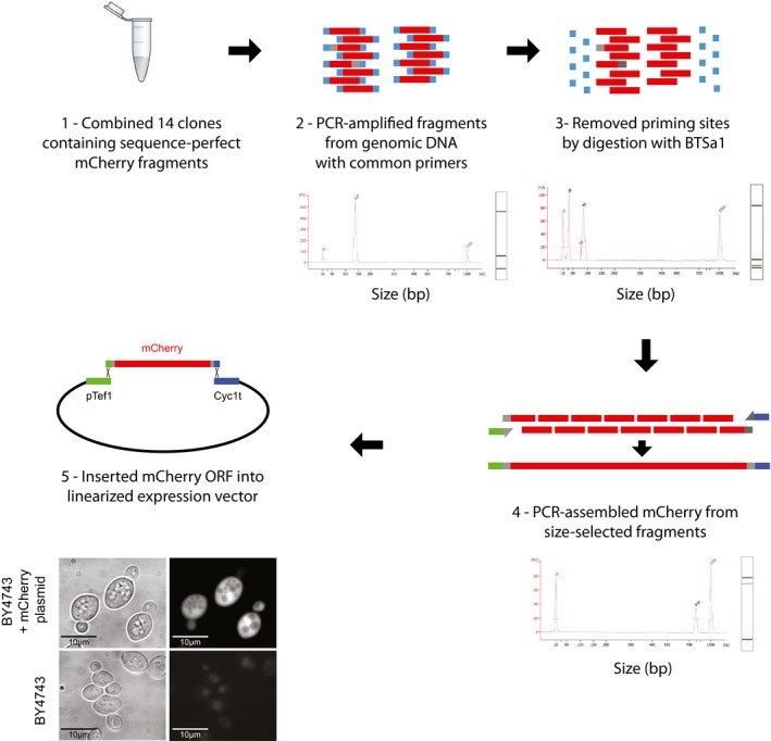 Assembly of the mCherry gene from sequence‐verified fragments (1) First, 14 yeast clones containing sequence‐perfect fragments for assembly of mCherry were combined at equal concentrations and genomic DNA was isolated from this mixture. (2) From this genomic DNA, the 14 fragments were PCR‐amplified using common priming sites. Below each section, a bioanalyzer trace shows that the fragments were all of the appropriate size. (3) After PCR, the common priming sites were removed by digestion with BTSa1. (4) The digested fragments were then PCR‐assembled with primers that added homologies for vector integration, and size‐selected to obtain fragments of the appropriate size. (5) The assembled mCherry fragment was then inserted into a linearized expression vector by yeast homologous recombination. Expression of mCherry was confirmed by microscopy. Phase contrast (left) and mCherry (right) images for BY4743 cells and BY4743 cells carrying the mCherry plasmid are shown. Sanger sequencing confirmed perfect DNA sequence in six out of six clones.