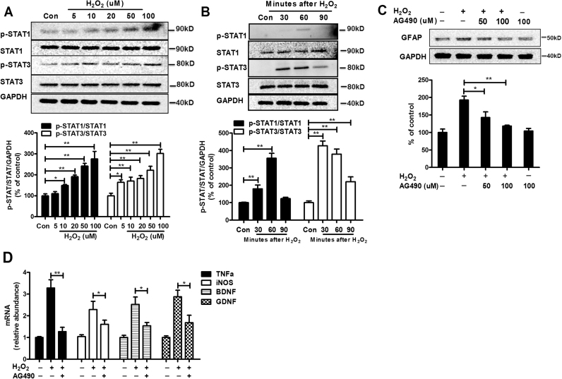 H 2 O 2 regulates the immunological functions of astrogliosis in a STAT1/3-dependent manner. (A) The levels of phosphorylated and nonphosphorylated STAT1 and 3 were determined in H 2 O 2 -treated astroglia cultures at 1 h of treatment by Western blot and the density of the blot was quantified. (B) The levels of phosphorylated and nonphosphorylated STAT1 and 3 were determined in astroglia culture at 30, 60 and 90 mins of H 2 O 2 treatment by Western blot and the density of the blot was quantified. (C) The expressions of GFAP were determined in H 2 O 2 -treated astroglia cultures with or without AG490 pre-treatment by Western blot and the density of the blot was quantified. (D) The gene expressions of TNFα, iNOS, GDNF and BDNF were determined H 2 O 2 -treated astroglia cultures with or without AG490. Results are expressed as the percentage of controls from three experiments performed in duplicate. * p