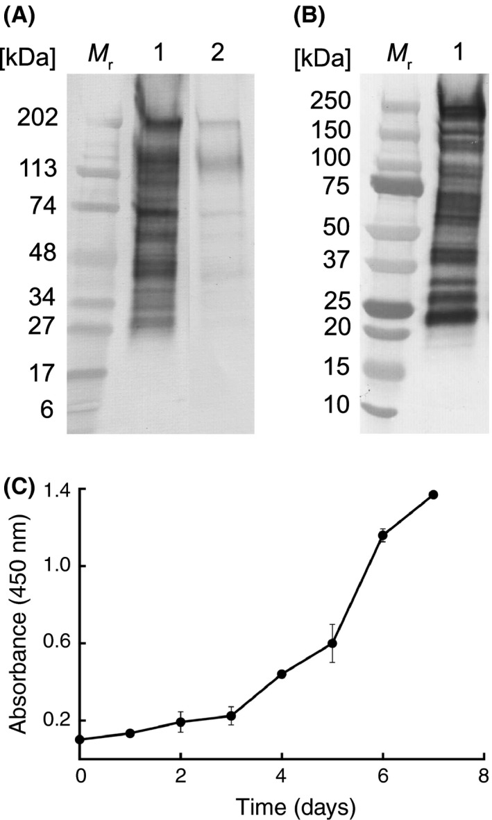 Characterization of the 5C4 antigen and extracellular antigen production. (A) Western immunoblot with 5C4 using the Bd ‐ GPL JEL 423 immunogen and following treatment of PVDF membranes with acetate buffer only (lane 1) or with periodate (lane 2). The reduction of immunoreactivity of 5C4 with glycoproteins between ∼27 and ∼220 kDa following periodate treatment shows that the antibody binds to carbohydrate moieties containing vicinal hydroxyl groups. Wells were loaded with 1.6 μg protein. M r denotes molecular weight in kDa. (B) Western immunoblot with 5C4 using washed, lyophilized zoospores of Bd ‐ GPL JEL 423. Wells were loaded with 1.6 μg protein. M r denotes molecular weight in kDa. (C) ELISA absorbance values at 450 nm for extracellular 5C4‐reactive antigens present in liquid cultures of Bd ‐ GPL JEL 423. Each point is the mean of three biological ± standard errors. The increase in absorbance values over the 7‐day sampling period shows that the antigen is shed into the external environment during growth and differentiation of the fungus.