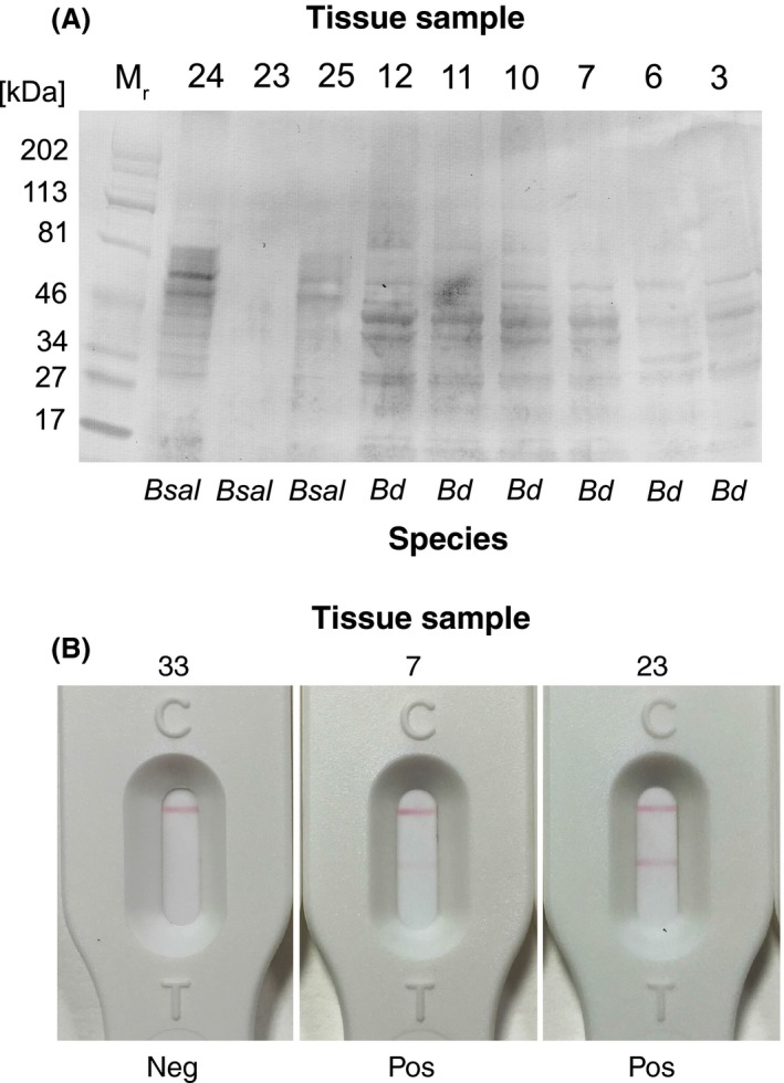 Immunodetection of 5C4 antigen in amphibian tissue samples. (A) Western immunoblot of soluble antigens in swabs of amphibian tissues naturally infected with Bd and Bsal . Soluble antigens present in swabs of foot, pelvic or skin fragments were subjected to denaturing SDS ‐ PAGE and transferred electrophoretically to a PVDF membrane. The membrane was probed with tissue culture supernatant of 5C4 followed by goat anti‐mouse IgM (μ‐chain‐specific) alkaline phosphatase conjugate and BCIP / NBT substrate. The antibody reacted with soluble antigens present in tissue swabs from frogs (samples 3, 6, 7, 10, 11 and 12) and newts and salamanders (samples 24 and 25) naturally infected with Batrachochytrium dendrobatidis ( Bd ) and Batrachochytrium salamandrivorans ( Bsal ) respectively. The 5C4 antibody was able to differentiate between Bd and Bsal , giving two distinct patterns of antigen binding. The 5C4‐negative sample 23 from a Southern Marbled newt ( Triturus pygmaeus ) was similarly negative in ELISA tests with 5C4, but was positive by Bsal qPCR and strongly positive with the 5C4 lateral‐flow assay (Table 4 ). The 5C4‐positive sample 3 from an Australian green tree frog ( Litoria caerulea ), which was negative by Bd qPCR (Table 4 ), was positive in ELISA and LFA tests and, in histology, this animal was shown to have a chytrid‐like infection. (B) Strong positive LFA test result for swab from tissue sample 23 ( Bsal qPCR positive, Western blot negative and ELISA negative), weak positive LFA test result for sample 7 ( Bd qPCR positive, Western blot positive and ELISA positive with 5C4) and negative LFA test result for sample 33 (negative by Bd qPCR , negative by Bsal qPCR and negative by Western blot and ELISA with 5C4).