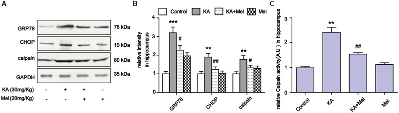 Melatonin suppressed KA-induced ER stress in vivo. (A) Expression of <t>GRP78,</t> CHOP and calpain in KA and/or melatonin-treated animals hippocampus. (B ) Relative analysis of the expression levels of GRP78, CHOP and calpain in KA and/or melatonin-treated animals hippocampus. (C) Relative activity of calpain in KA and/or melatonin-treated animals hippocampus. ∗∗ P