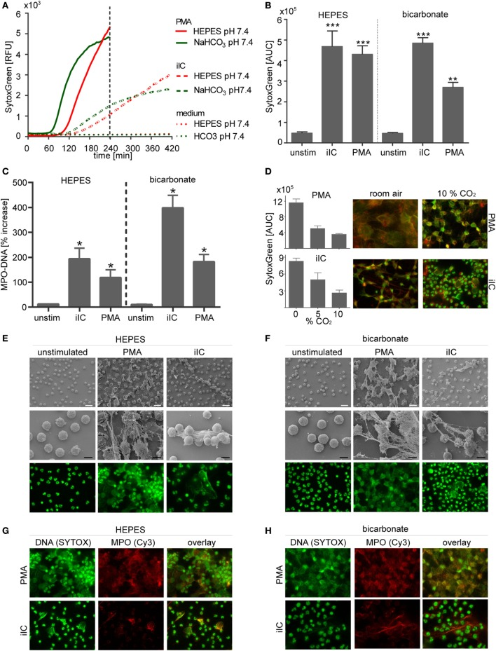 Neutrophil extracellular traps are induced by phorbol myristate acetate (PMA) and immobilized immune complex (iIC) under N -2-hydroxyethylpiperazine- N ′-2-ethanesulfonic-acid <t>(HEPES)-</t> and bicarbonate-buffered conditions at pH 7.4 . A total of 10 6 neutrophils/ml were preincubated for 30 min under bicarbonate- or HEPES-buffered conditions at pH 7.4 and were then stimulated with PMA, iIC, or left untreated. Release of neutrophil extracellular traps (NETs) was monitored for 4 h (PMA) or 7 h (iIC) at 37°C (under 10% CO 2 for bicarbonate-buffered system). (A) Representative real-time kinetics of <t>NET</t> release measured by staining with SYTOXgreen and (B) area under the curve (AUC) values (mean ± SEM) of NET-dependent relative fluorescence intensities (RFUs) as measured by the SYTOXgreen assay. n = 3–9, ** p
