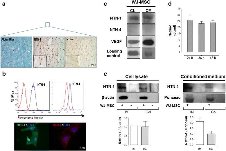 Netrin-1 is preferentially expressed and secreted by Wharton's jelly-derived mesenchymal stem cells (WJ-MSC), whilst Netrin-4 expression is almost absent. Netrin-1 (NTN-1) and Netrin-4 (NTN-4) expression was confirmed by different experimental techniques. a Representative images of the histological analysis of umbilical cord sections are shown. MSCs uniformly distribute within Wharton's jelly and show positive staining for Alcian Blue and Netrins (magnification × 20). Inset show optical zoom images of NTN-1 and NTN-4 staining ( n = 3). b Flow cytometry and immunofluorescence anti-NTN-1 and −4 confirm preferential expression of NTN-1 in WJ-MSC ( n = 3) (magnification × 63). c Western blot for NTN-1, NTN-4 and vascular endothelial growth factor (VEGF) (positive control) in whole cell lysate (CL) and conditioned media (CM) of WJ-MSC cultures. β-actin (for CL) and Ponceau (for CM) were used as internal loading controls, respectively ( n = 3–7). d ELISA analysis for NTN-1 in WJ-MSC; CM was obtained at indicated time points ( n = 4). e Western blot for NTN-1 in WJ-MSC, seeded 24 h in Integra® matrix (IM) or collagen I (Col), versus respective empty scaffold (−) used as negative control. Ligand expression was analyzed both in CL or CM. β-actin and Ponceau were used as internal loading controls, respectively ( n = 4–5)