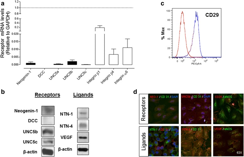 Endothelial cells derived from human umbilical vein endothelial cells (HUVEC) express low levels of classic Netrin receptors and both Netrin-1 (NTN-1) and Netrin-4 (NTN-4) ligands. a mRNA levels of classic (■) and non-classic (□) Netrin receptors were quantified by qPCR relative to GAPDH expression ( dashed line ). Values are mean ± S.E.M. ( n = 7). b Absence of DCC expression in HUVEC was established by Western blot, while Neogenin-1 as well as UNC5b and UNC5c expression could be detected. Endogenous Netrins and vascular endothelial growth factor (VEGF) expression in HUVEC was determined by Western blot. β-actin was used as internal reference ( n = 5–7). c The non-classical Netrin receptor integrin α3β1 was also detected by flow cytometry ( n = 3). d Immunofluorescence for receptors and ligands in HUVEC (magnification × 63). eNOS (endothelial nitric oxide synthase) or CD-31 (PECAM) were used as endothelial cell markers and DAPI for nuclear counterstain