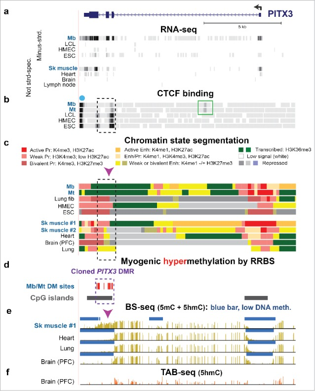Intragenic Mb/Mt DNA hypermethylation, decreased CTCF binding, and loss of poised promoter chromatin in PITX3 correlated with gene expression in Mb and Mt. (a) RefSeq gene structure for PITX3 , a developmental gene, at chr10:103,989,638–104,003,464 (all coordinates for figures are in hg19 and all tracks are aligned) and ENCODE RNA-seq data. The sequence-specific minus-strand RNA-seq profile is shown for cell cultures and the not strand-specific RNA-seq data for tissues. 37 (b) CTCF binding from ENCODE data (dot, predicted insulator; green box, preferential Mb/Mt CTCF binding site. (c) Chromatin state segmentation from RoadMap data 37 with the indicated color code; Pr, promoter; Enh, enhancer; Enh/Pr, both active promoter-type and enhancer-type histone modification; Repressed, enriched in H3K27me3 (weak, light gray; strong, dark gray) or H3K9me3 (violet). (d) Statistically significant hypermethylated sites as determined by RRBS for comparison of the set of Mb and Mt vs. 16 types of non-muscle cell cultures 23 and CGIs from the UCSC Genome Browser. 37 (e) Bisulfite-seq profiles 37 with blue bars indicating regions with significantly lower methylation compared with most of the given genome. 28,72 (f) TAB-seq profile of the distribution of 5hmC in the same prefrontal cortex (PFC) DNA sample from brain used for bisulfite-seq. Mb, myoblasts; LCL, GM12868 lymphoblastoid cell line; HMEC, human mammary epithelial cells; ESC, H1 embryonic stem cells; Sk muscle #1, psoas muscle; Sk muscle #2, unknown type of skeletal muscle; Lung fib, IMR-90, fetal lung fibroblast cell line; heart, left ventricle. Dashed box, cloned DMR sequences; arrowhead, Epimark-assayed CCGG, which had high 5hmC in SkM ( Fig. 2a ).