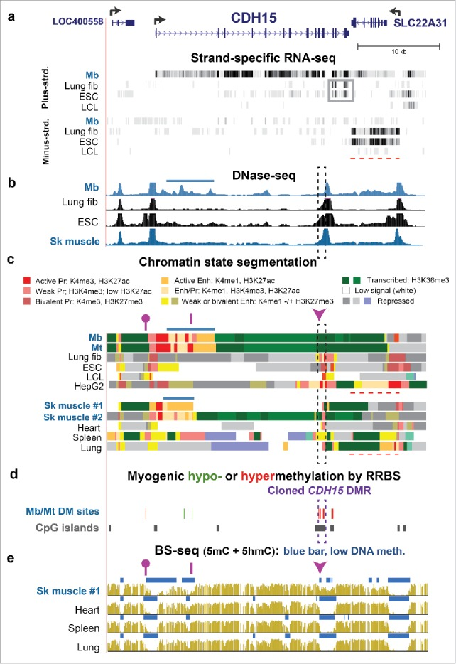 Both hypermethylated and hypomethylated DMRs within the gene body of CDH15 are associated with gene expression. (a) RefSeq structure for CDH15 and adjacent genes (chr16:89,232,229–89,271,355) and RNA-seq data for cell cultures as in Fig. 1 . Gray box, an apparent ncRNA seen in lung fibroblasts and ESC; red dashed line, the region of the SLC22A31 transcript. (b) DNase-seq mapping of DNaseI hypersensitive sites. Dashed rectangle CDH15 3′DMR sequence that was cloned and used for reporter gene assays; horizontal blue bar, epigenetic marks at the myogenic enhancer-like region. (c) Chromatin state segmentation. Note 0.2- and 0.4-kb subregions of active promoter chromatin in the cloned region of lung fibroblasts and HepG2 cells, respectively as compared with poised promoter chromatin in the other non-myogenic samples. (d) Significant hyper- or hypomethylated sites from RRBS. 23 (e) Bisulfite-seq. Dashed box, cloned DMR sequences. Epimark-tested CCGG sites: arrowhead, site which had high 5 hmC in SkM, heart, and cerebellum; purple line, site with negligible 5 hmC in all tested samples; lollipop, site with high 5 hmC only in SkM ( Fig. 2a ).