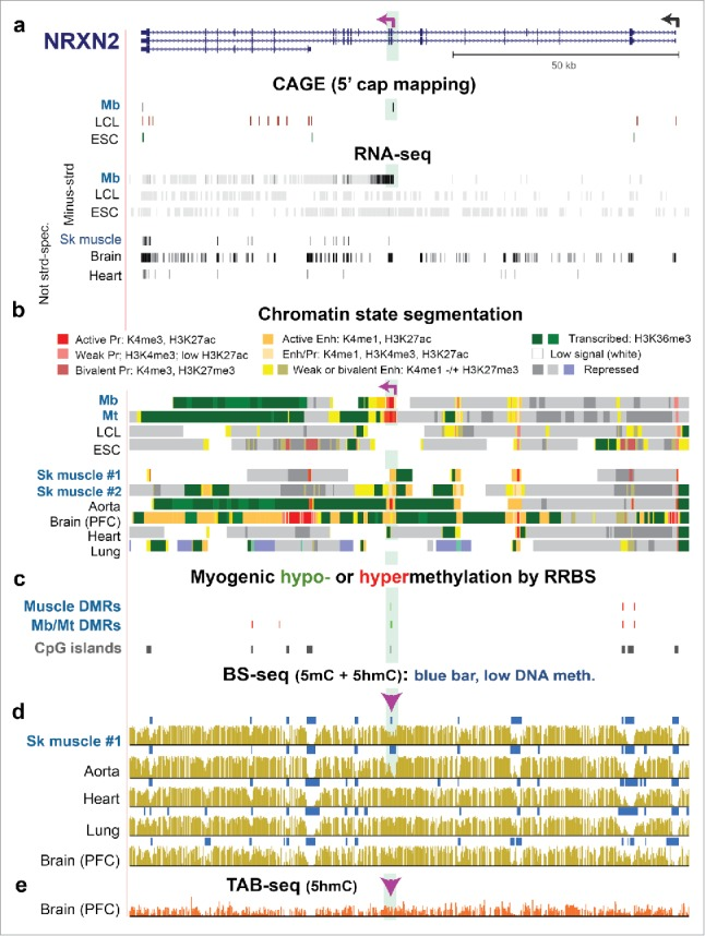 NRXN2 , a neuronal gene, displays a Mb/Mt-specific alternative promoter whose DNA hypomethylation persists in SkM despite the loss of promoter activity. (a) RefSeq gene isoforms structures for NRXN2 (chr11:64,371,048–64,493,639) and RNA-seq as in Fig. 3 but also with the ENCODE profile of 5′ cap mapping (CAGE). 37 Purple broken arrow on left, TSS for the Mb-associated transcript. (b) Chromatin state segmentation. (c) Significant hyper- or hypomethylated DMRs from 33 RRBS profiles. 24 (d) and (e) Bisulfite-seq and TAB-seq. Highlighted green region, Mb/Mt-specific promoter region within NRXN2 . Arrowhead, Epimark-tested site with high 5hmC in cerebellum ( Fig. 2a ).