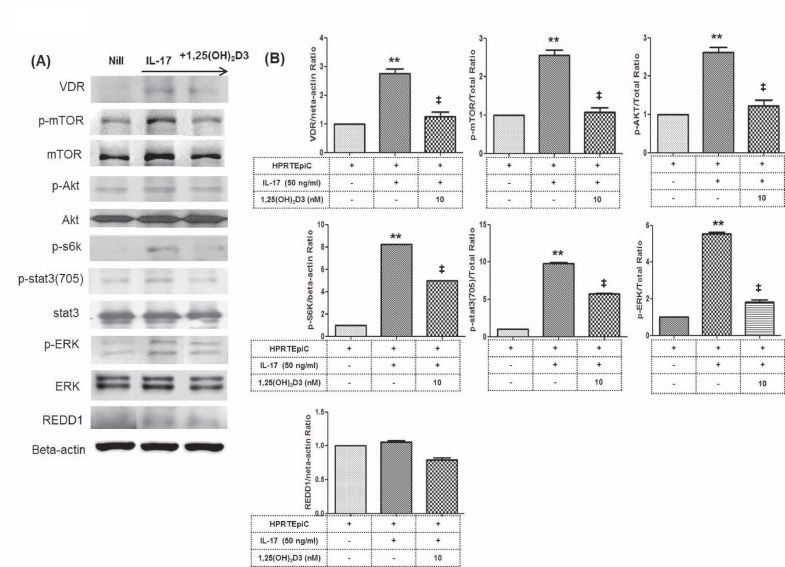 Effects of 1,25(OH) 2 D3 on the expression of mTOR and STAT3 proteins in HRPTEpiC. (A) Immunoblotting of VDR, p -mTOR, mTOR, p- Akt, Akt, p- s6k, p- STAT3(705), STAT3, p -ERK, ERK and REDD1 in HRPTEpiC pretreated with or without 1,25(OH) 2 D3 (10 nM) and then cultured with recombinant IL-17 for 1 hour. (B) Stimulation of HRPTEpiC with recombinant IL-17 activated the phosphorylation of mTOR, Akt, STAT3,ERK and s6k as detected by Western blotting and shown by the ratio of phosphorylated to total proteins. Note that combined use of 1,25(OH) 2 D3 resulted in the most inhibitory effect on the expression of VDR, mTOR, Akt, STAT3, ERK and s6k. Bars show the mean ±SD results in 3 patients, in 1 of 3 independent experiments. **P