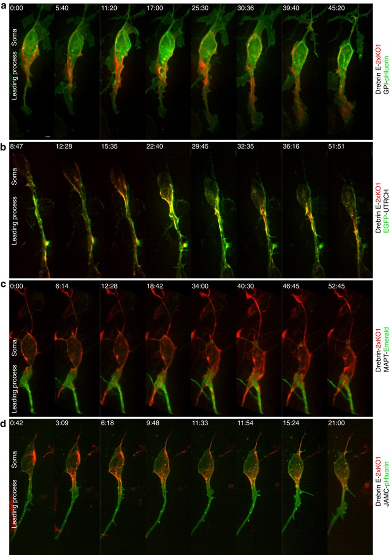 LLS microscopy reveals unappreciated relationships between cytoskeleton and plasma membrane in the proximal leading process. CGNs cultured in conditions that recapitulate radial migration were electroporated with expression vectors encoding the indicated fluorescently labelled live-cell imaging probes. The displayed images are maximum intensity projections of selected time points of cultures imaged via LLS microscopy 18–24 h post transfection. Scale bar, 2 μm. ( a ) Simultaneous imaging of plasma membrane (GPI-pHluorin, green) and drebrin (labelled with drebrin E 2x-KO1, red) reveals that drebrin is submembranous during its anterograde translocation. ( b ) f-Actin (labelled with EGFP-UTRCH, green) accumulates in the leading process before somal translocation. Initially, drebrin (labelled with drebrin E 2x-KO1, red) is localized mostly in the cell body but becomes restricted to the leading process f-actin domain. ( c ) Debrin (labelled with drebrin E 2x-KO1, red) accumulates around microtubules located in a well-dilated proximal leading process (labelled with MAPT-Emerald, green) before somal translocation. Note that drebrin appears to be more cortically restricted than the microtubules. ( d ) Simultaneous imaging of JAM-C adhesions (JAM-C-pHluorin, green) and drebrin (labelled with drebrin E 2x-KO1, red) reveals that a subset of JAM-C adhesions are located in the drebrin contractile domain. Scale bar, 2 μm ( a ). Time stamp=min:sec.