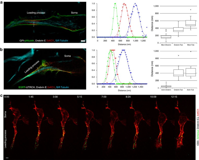 SR-SIM reveals that f-actin and <t>drebrin</t> form a cortical collar around microtubules in the proximal leading process. ( a , b ) SR-SIM imaging of CGNs with dilated proximal leading processes expressing ( a ) GPI-pHluorin (green), drebrin E 2x-KO1 (red) and SiR-tubulin (blue; n =21 cells analysed) or ( b ) EGFP-UTRCH (green), Drebrin E 2x-KO1 (red) and SiR-tubulin (blue; n =18 cells analysed). Scale bar, 1 μm ( a ). The RGB plot to the right of each representative image shows the well-resolved Gaussian FWHM peaks detected for the line scan in each image (dashed white line). The box plots at far right show the measured distances between the centroid positions of the Gaussian peak for each fluorescent probe. Whiskers on the box plot show maximum and minimum data points, box borders show first and third quartiles and the line in the box show the median. ( c ) Drebrin is an f-actin and +TIP binding protein. Consistent with this interaction, LLS microscopy shows that microtubule +TIPs (labelled with EB3-2x Venus, green) pass through the drebrin E-labelled domain (labelled with drebrin E 2x-KO1, red) in the proximal leading process. Scale bar, 2μm ( c ). Time stamp=min:sec.