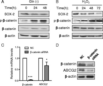 Impact of glutamine deprivation and H 2 O 2 on β-catenin pathway. a A549 cells were cultured in RPMI 1640 medium without glutamine for the indicated time, and cell lysates were subjected to western blotting to measure the expression of SOX2, p-β-catenin, β-catenin, and β-actin. b A549 cells were treated 100 μM H 2 O 2 for the indicated time, and cell lysates were subjected to western blotting to measure the expression of SOX2, p-β-catenin, β-catenin and β-actin. c Expression of β-catenin and ABCG2 mRNA in A549 cells transfected with siRNA against β-catenin or with negative control siRNA (NC). *, p
