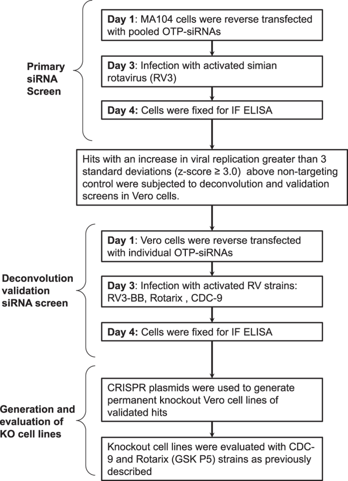 Experimental workflow. This study included a tiered siRNA screening approach coupled with CRISPR-generated knockout Vero cell lines to evaluate host genes and their implication during RV infection. The primary siRNA screen was performed with pooled OTP-siRNA in MA104 cell line using the simian rotavirus strain RV3. Top hits were selected by a z-score analysis and subjected to deconvoluted validation siRNA screens in Vero cells with the rotavirus strains RV3-BB, Rotarix, CDC-9. Resulting hits were evaluated in CRISPR generated Vero cell lines with CDC-9 and Rotarix (GSK P5) strains.