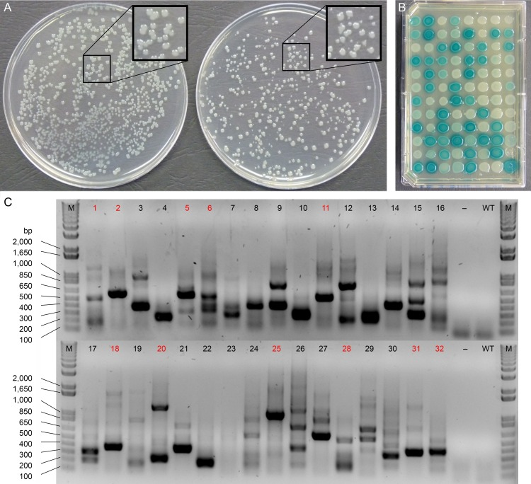 Preliminary characterization of Psa transposon mutants. (A) Colony size variation between wild-type Psa (left) and transposon mutants (right). A region of each plate, boxed in black, is enlarged (2×) for comparison; (B) Evaluation of the ability of transposon mutants to express GUS on KB-Km agar medium containing X-Gluc; (C) Arbitrary PCR to amplify transposon insertion sites from the genomic DNA of 32 independent transposon mutants (1–32). PCR amplicons from samples labelled in red were sequenced to characterize the specific location(s) of genome insertion by the transposon. M = DNA ladder, bp = base pairs,– = H 2 O negative control, WT = wild-type Psa genomic DNA.
