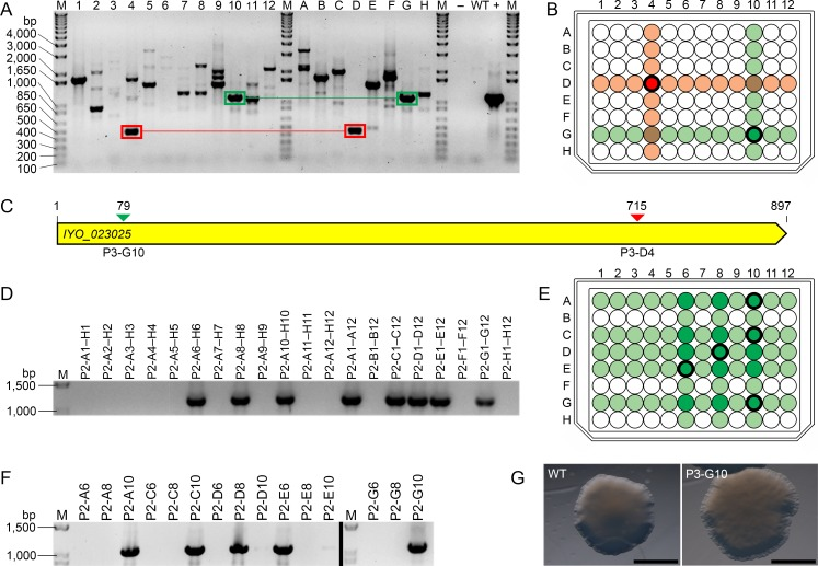 Validation of the Psa mutant of interest (MOI) library. (A) PCR screen to identify disruptions in the IYO_023025 gene. Pooled genomic DNA samples from the columns (lanes 1–12) and rows (lanes A–H) of MOI library plate 3 (P3) were used as templates for PCR. Two sets of amplicons that share a specific IYO_023025 disruption across a single pooled column and row sample are boxed in green and red, respectively; (B) Location of the P3-G10 and P3-D4 wells, which contain a mutant with an IYO_023025 disruption specific to the PCR amplicons boxed in green and red in (A), respectively; (C) Schematic of the IYO_023025 gene showing the location of transposon insertion sites identified in (A). Transposon insertion sites are denoted by arrows, and are color-coded to match the PCR amplicons boxed green and red in (A); (D) PCR screen to identify the IYO_023025 disruption mutant from well P3-G10. Pooled genomic DNA samples from the columns and rows of a 96-well plate (P2) containing independent colony-forming units of well P3-G10 were used as templates for PCR; (E) Location of intersecting wells in P2 (dark green) that possibly contain the IYO_023025 P3-G10 disruption mutant, as determined by the PCR amplicon profile in (D); (F) PCR screen to determine which of the intersecting wells in (E) contain the IYO_023025 P3-G10 disruption mutant. Amplicons shown in the left and right panels (separated by a black line) are derived from different regions of the same gel. Wells that contain the mutant are shown in bold in (E); (G) Colony morphology of wild-type (WT) Psa and the IYO_023025 P3-G10 disruption mutant. Bar = 2 μM, M = DNA ladder, bp = base pairs,– = H 2 O negative control, WT = WT Psa DNA.