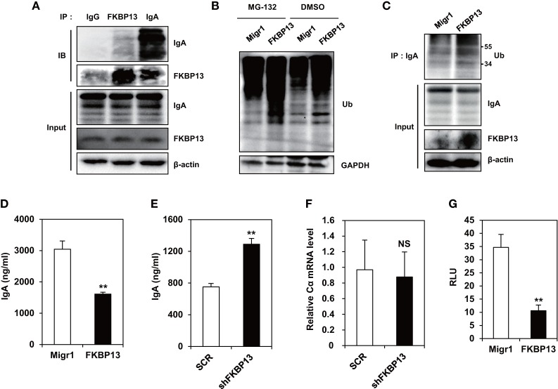 FK506-binding protein 13 (FKBP13) promotes ubiquitination-mediated degradation of immunoglobin (Ig) molecules . (A) J558 cells were lysed, immunoprecipitated with anti-goat IgG, anti-FKBP13, or anti-IgA antibodies, and assayed by western blotting. (B–G) J558 cells were transfected with MigR1, MigR1-myc-FKBP13 (FKBP13), pGFP-V-RS-shFKBP13 (shFKBP13), or pGFP-V-RS-SCR (SCR) as indicated. (B) The transfectants were incubated with 1 μM MG-132 or DMSO for 24 h followed by western blotting. (C) Lysates from the transfectants were immnoprecipitated with anti-IgA antibodies and assayed by western blotting. (D,E) GFP + transfectants were sorted by FACS and cultured for 24 h, and supernatant IgA was assayed by enzyme-linked immunosorbent assays. (F) IgA Cα transcripts in the transfectants were assayed by quantitative RT-PCR. (G) J558 cells were transfected with MigR1 or MigR1-myc-FKBP13 constructs together with reporter constructs (pGL3b-UPRE and pRL-CMV), and dual luciferase activities were measured. Firefly luciferase activity was normalized by the Renilla luciferase activity and is shown as relative luciferase units (RLU). All data are representative of at least three independent experiments. * p