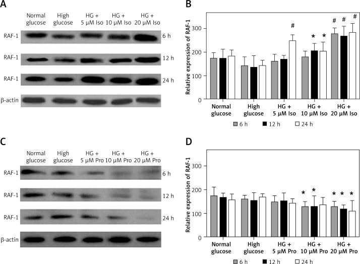 Stimulation of β-adrenergic receptors with isoproterenol induced the expression of RAF-1 in hyperglycemic RIN-m5F cells ( A and B ). Isoproterenol treated cells were then subjected to propranolol. Increase in the expression of RAF-1 was dependent on concentration but independent of time periods. The isoproterenol generated effect on RAF-1 protein was reversed when the cells were treated with isoproterenol + propranolol ( C and D ) Data are presented as mean ± standard deviation and compare glucose treated vs. glucose + isoproterenol treated vs. glucose + isoproterenol + propranolol treated (*p