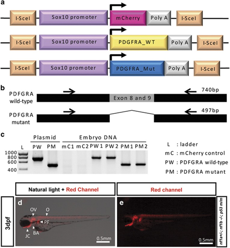 I-SceI meganuclease-mediated human PDGFRA transgenesis in nf1- and p53- deficient fish. ( a ) Schematic diagram of the DNA constructs used to generate transgenic sox10:mCherry , sox10: wild-type (WT) and constitutively activated (Mut) PDGFRAs zebrafish. I-SceI denotes the I-SceI meganuclease target sequence. ( b ) Schematic diagram of PCR target of human wild type and constitutively activated mutant PDGFRA (Δ exons 8 and 9) for genotyping. Black arrows represent primer target sites for PCR. ( c ) PDGFRA wild-type and mutant DNA sequences were detected in genomic DNA of the transgenic zebrafish embryos. Human PDGFRA sequences were confirmed with embryonic DNA of two separate transgenic lines (mC1 and mC2, PW1 and PW2 and PM1 and PM2). Each amplified PCR band of PDGFRA wild type and mutant had sizes of 740 and 497 bp, respectively. Injected plasmids for transgenesis were used as the positive control. ( d and e ) Sox10 promoter driving mCherry is expressed in cells of neural crest origin during early embryogenesis. Tg ( nf1a +/− ; nf1b −/− ; p53 m/m ; sox10:mCherry ) zebrafish embryo at 3 d.p.f. showed mCherry expression throughout otic vesicle (OV), branchial arches (BA), oligodendrocytes (O), jaw cartilage (JC) and pectoral fins (PF).