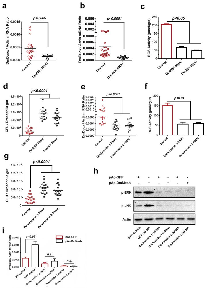 "The role of Mesh-Arrestin-ERK/JNK-MAPK signaling cascade in DmDuox regulation in Drosophila (a–b) Regulation of the DmDuox gene in the guts of DmERK (a) and DmJNK (b) RNAi flies. (c) Regulation of ROS activity in the guts of DmERK and DmJNK RNAi flies. (d) Enhancement of the gut microbiome in the guts of DmERK and DmJNK RNAi flies. (e–f) Silencing DmArrestins impaired expression of the DmDuox gene (e) and ROS activity (f) in the Drosophila guts. (g) Increasing the burden of gut microbiome in the guts of DmArrestins RNAi flies. (h–i) Assessing the role of the ""Arrestin-ERK/JNK"" cascade in AaMesh-mediated Duox expression in Drosophila . Both DmArrestin-1 and DmArrestin-2 were silenced by dsRNA transfection in the pAc-DmMesh-trnasfected Drosophila S2 cells. (h) The phosphorylation of DmERK (p-ERK) and DmJNK (p-JNK) was detected by western blotting. (i) The abundance of the DmDuox gene was determined by SYBR Green qPCR and normalized by Drosophila actin ( CG12051 ). (a–g) GFP RNAi flies served as a negative control. (a–b, e) The gene expression was determined by SYBR Green qPCR and normalized against D. melanogaster actin ( CG12051 ). The qPCR primers are described in Supplementary Table 6 . One dot represents one fly gut. The horizontal line represents the mean value of the results. (c, f) The ROS activity was detected by a H 2 O 2 assay. The data are presented as the mean ± S.E.M. (d, g) The burden of gut microbes was determined by a CFU assay. (a–g, i) The data were analyzed using the non-parametric Mann-Whitney test. (a–i) The results were reproduced by at least 3 independent experiments."