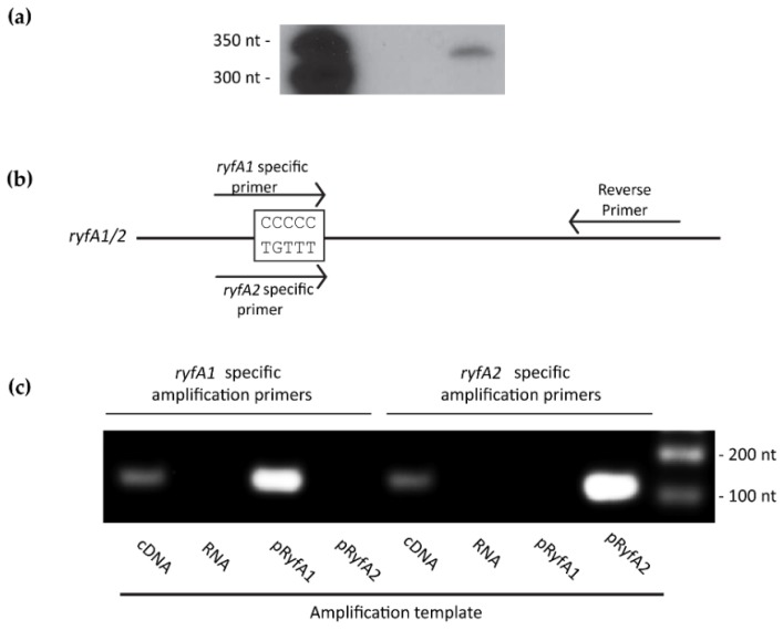 S. dysenteriae produces both RyA1 and RyfA2. ( a ) Northern blot analysis using total RNA isolated from wild-type S. dysenteriae following growth to the mid-logarithmic phase at 37 °C and a radio-labeled probe specific to sequences conserved between RyfA1 and RyfA2. The predicted sizes of RyfA1 and RyfA2 are 303 and 305 nt, respectively. ( b ) Schematic depicting the location and sequence specificity of the amplification primers used in the reverse transcriptase analysis. Each forward primer overlaps the five-nucleotide variable region of RyfA1 or RyfA2, thus providing specificity of amplification. ( c ) Reverse transcriptase PCR demonstrating that both RyfA1 and RyfA2 are produced by wild-type S. dysenteriae under the conditions tested. Using the ryfA1 specific forward primer, amplification occurs when complementary DNA (cDNA) generated from S. dysenteriae or a plasmid carrying ryfA1 is used as a template (pRyfA1), but not when a plasmid carrying ryfA2 is used as a template (pRyfA2). Similarly, using the ryfA2 specific forward primer, amplification occurs when cDNA generated from S. dysenteriae or a plasmid carrying ryfA2 is used as a template, but not when a plasmid carrying ryfA2 is used as a template. The RNA used to generate the cDNA amplification template is used itself as a template with each primer set to ensure that the sample is free from DNA contamination.