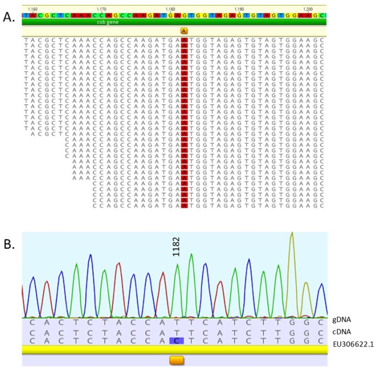 Alignment of the deep sequenced mitochondrial transcriptome of Chlamydomonas reinhardtii strain cc503. ( A ) A single putative RNA editing site was detected in the cytochrome oxidase b gene at nucleotide 1,182. The mean coverage of the cob gene was 28,371.5 ± 7,598 with a min:max of 816:42,177. ( B ) Sequencing of the cob <t>DNA</t> and <t>cDNA</t> from the cc503 isolate used for the deep sequencing revealed a SNP at that site, therefore no editing had taken place.