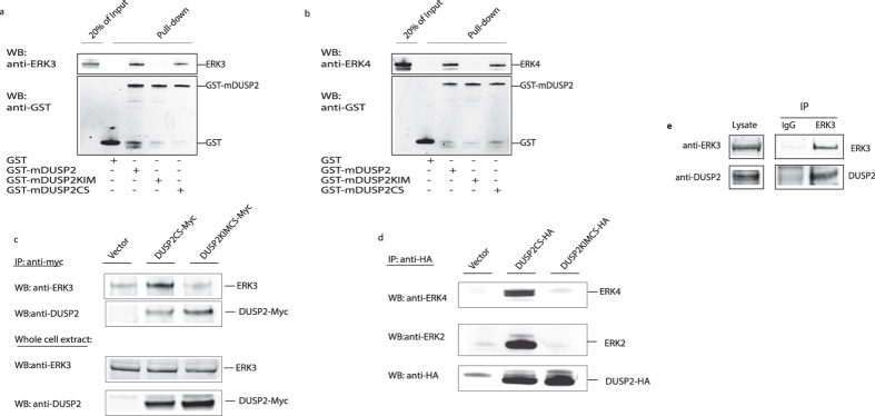 DUSP2 interacts with ERK3 and ERK4 in a KIM-dependent manner both in vitro and in vivo. Two micrograms of either ERK3 ( a ) or ERK4 ( b ) were incubated with 2 μg of GST, GST-mDUSP2, GST-mDUSP2KIM or GST-mDUSPC and glutathione agarose. Following GST pulldown, bound ERK3 or ERK4 was detected by western-blotting using an anti-ERK3 ( a ) or anti-ERK4 ( b ) antibody, respectively. GST and GST-fusions were visualized using an anti-GST antibody. ( c ) NCI-H1299 cells were transfected with either an empty expression vector or the plasmids encoding a myc-tagged catalytically inactive mutant of DUSP2 (DUSP2CS-Myc) or catalytically inactive DUSP2 in which the KIM motif was also mutated (DUSP2CSKIM-Myc) respectively. Twenty-four hours after transfection, cells were lysed and myc-tagged DUSP2 was immunoprecipitated from the lysate using an anti-Myc monoclonal antibody. Co-immunoprecipitated endogenous ERK3 was detected by Western-blotting using the anti-ERK3 (clone 4C11) antibody (upper panel) Immunoprecipitated DUSP2 was detected by Western-blotting using a sheep anti-DUSP2 antibody (second panel). The expression of endogenous ERK3 and overexpressed myc-DUSP2 in the lysates were verified by Western-blotting using a monoclonal anti-ERK3 (clone 4C11) antibody and polyclonal anti-DUSP2 antibody respectively (third and fourth panel). ( d ) HEK-293 cells were transfected with either empty expression vector or the plasmids DUSP2CS-HA or DUSP2CSKIM-HA respectively. Twenty-four hours after transfection cells were lysed and HA-tagged DUSP2 was immunoprecipitated from the lysate using an anti-HA monoclonal antibody. Co-immunoprecipitated endogenous ERK4 and ERK2 were detected by Western-blotting using the polyclonal anti-ERK4 antibody (upper panel) and polyclonal ERK2 antibody (second panel). Immunoprecipitated DUSP2 was detected by Western-blotting using a monoclonal anti-HA antibody (third panel). ( e ) Jurkat T-cells were stimulated with PMA and anti-CD3 antibody for 3 hours in prese