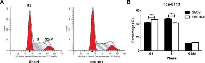 Knockdown of STIM1 regulates cell cycle of Tca-8113 cells ( A ) Representative result showing STIM1 knockdown represses cell cycle in Tca-8113 cells. Tca-8113 cells were infected with shCtrl or shSTIM1 lentivirus for 48 h and then flow cytometry was performed to analyze cell cycle. ( B ) STIM1 knockdown induces cell cycle arrest at G 1 phase. Tca-8113 cells were infected with shCtrl or shSTIM1 lentivirus for 48 h and then flow cytometry was performed to analyze cell cycle; *** P