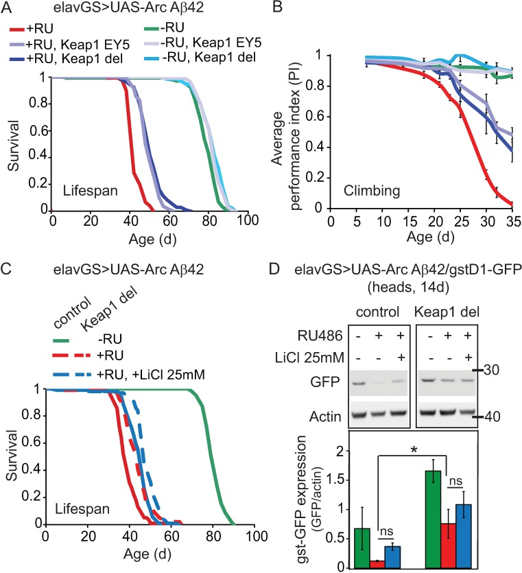 Keap1 reduction, but not lithium treatment, protects against Aβ42 toxicity in correlation with increased cncC activity. (A) Heterozygous loss of Keap1 extended lifespan of ArcAβ42-expressing flies. P = 0.001 comparing +RU, Keap1 del or +RU, Keap1 EY5 flies to +RU alone (log-rank test). N = 150 flies per condition. (B) Heterozygous loss of Keap1 ameliorated climbing deficiency in ArcAβ42 flies. P