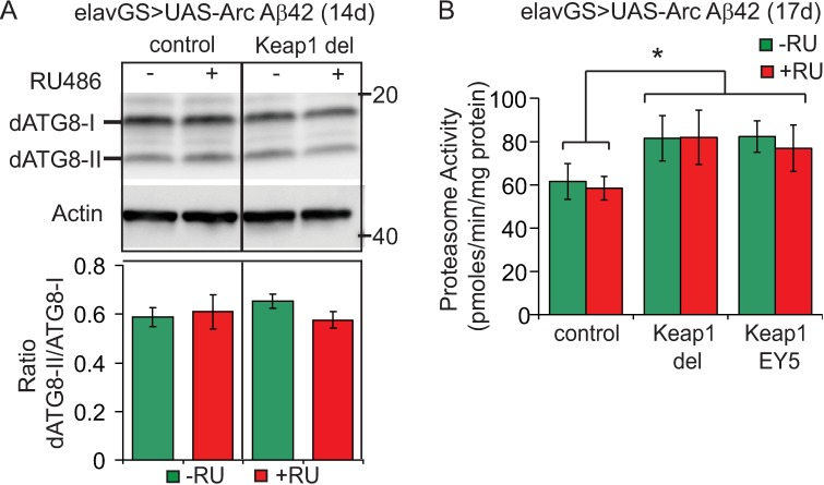 Keap1 inhibition and protein degradation pathways in Aβ42 flies. (A) Keap1 did not modify autophagy in Aβ42-expressing flies, as measured by the ratio of ATG8-II to ATG8-I levels. Data are presented as means ± SEM. P > 0.05 (one-way ANOVA and Tukey's post-hoc analysis). N = 4 biological repeats of 10 fly heads per condition. (B) Proteasome activity, as measured using the fluorogenic peptide substrate LLVY-AMC, was increased by Keap1 modification in Aβ42-expressing flies. Data are presented as mean activities (pmoles/min/mg protein) ± SEM. P