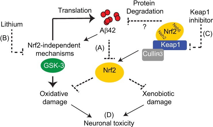 Keap1 and GSK-3 in the regulation of Nrf2 in Alzheimer's disease. (A) Aβ42 peptide inhibits activity of Nrf2, and this may explain the increased presence of xenobiotic and oxidative stress markers observed in Alzheimer's disease. (B) Although lithium can activate Nrf2 at high concentrations, its protective effect against Aβ42 toxicity appears to be mainly Nrf2-independent, reducing Aβ42 levels by inhibiting translation[ 47 ] and preventing oxidative damage. More specific GSK-3 inhibitors are required to confirm the precise role of GSK-3 in rescuing Nrf2 deficits in neurodegenerative disease. (C) Genetic and pharmacological inhibition of Keap1 can rescue Aβ42-induced Nrf2 inhibition and neuronal toxicity by preventing xenobiotic damage and activating degradation of Aβ42 peptide. (D) Keap1 inhibitors may serve as effective therapies for AD and, in combination with GSK-3 inhibitors, may provide added benefits in preventing neurodegeneration through non-overlapping mechanisms.