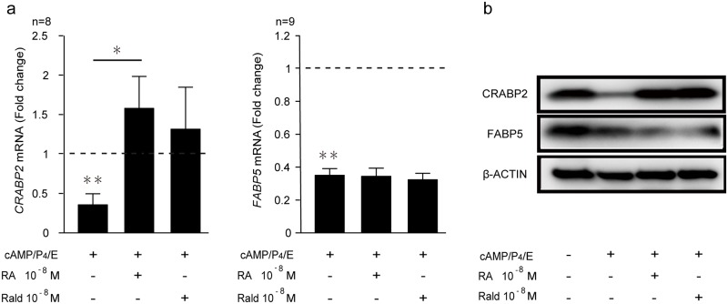 Expression of cellular retinoic acid binding proteins in decidualizing HESCs. (a) CRABP2 and FABP5 transcript levels in undifferentiated or decidualized cells treated with 8-bromo-cAMP, P4, and E in combination with or without 10 −8 M atRA or 10 −8 M atRald for 8 days. The results show fold-change (mean ± SEM) relative to vehicle control ( dotted lines ). CRABP2 mRNA was measured in 8 primary HESC cultures and FABP5 mRNA in 9 cultures. (b) Representative Western blot analysis of retinoic acid binding proteins in whole cell lysates from undifferentiated or cells decidualized in the absence or presence of 10 −8 M atRA or 10 −8 M atRald. β-actin served as a loading control. E, cortisone; RA, retinoic acid; Rald, retinaldehyde. * indicates P
