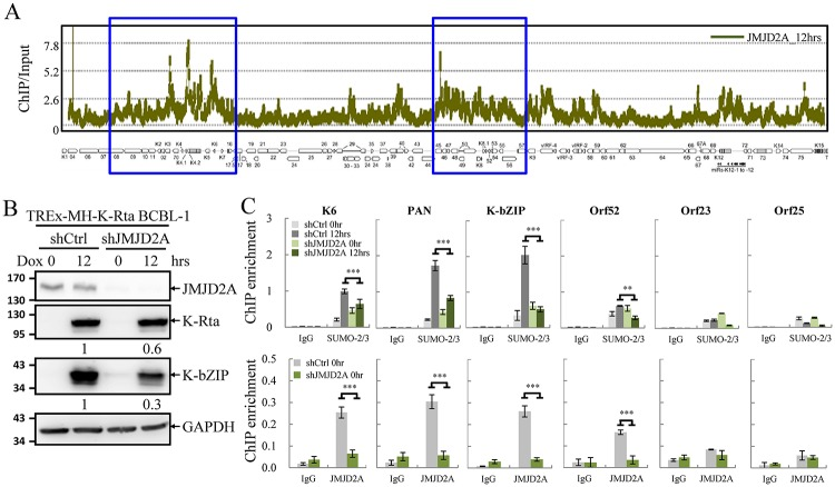 JMJD2A is required for efficient SUMO-2/3 enrichment on the viral genome during KSHV reactivation. (A) ChIP-on-chip analysis of JMJD2A binding across the KSHV lytic genome. A JMJD2A ChIP assay was performed on TREx-MH-K-Rta BCBL-1 cells treated with 0.2 μg/ml doxycycline (Dox) for 12 hours (hrs). The genomic locations of KSHV ORFs are depicted below the histogram. The blue rectangular areas are locations that comprise high SUMO-2/3 levels after KSHV reactivation (Yang et al. 2015). (B) Total cell lysates (TCLs) from TREx-MH-K-Rta-shCtrl and -shJMJD2A BCBL-1 cells before and after Dox treatment (12 hrs) were immunoblotted with antibodies as indicated. Ratio is the relative signal of K-Rta or K-bZIP to GAPDH observed for Dox treatment at 12 hrs using TREx-MH-K-Rta-shCtrl BCBL-1 cells set as 1.0. (C) ChIP was performed with chromatin prepared from cells treated as described in (B) using rabbit IgG, anti-SUMO-2/3 (upper panel) and anti-JMJD2A (lower panel) antibodies. ChIP DNA was quantified by real-time quantitative PCR (qPCR) using primer pairs specific for promoter regions of KSHV K6 , PAN , K-bZIP , Orf52 , Orf23 and Orf25 . (Data represent mean±SEM. n = 3. ** p