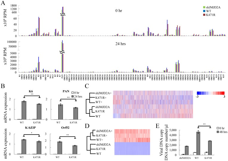 JMJD2A SUMOylation plays an essential role in KSHV viral gene transactivation and viral reactivation. (A) RNA-seq was performed using total RNA from non-induced (0 hrs, upper panel) and 0.2 μg/ml Dox treated (24 hrs, lower panel) TREx-MH-K-Rta-shJMJD2A (green bars), -shJMJD2A-Flag-JMJD2A-WT (blue bars) and -K471R (red bars) BCBL-1 cells. One representative RNA-seq expression dataset of KSHV genes is presented as reads per million (RPM) mapped. (B) RT-qPCR verification of KSHV K6 , PAN , K-bZIP and Orf52 expression in TREx-MH-K-Rta-shJMJD2A-Flag-JMJD2A-WT and -K471R BCBL-1 cells. (C and D) Heat map depicts hierarchical clustering of RNA-seq data of cellular (C) and KSHV (D) gene expression. (+, plus Dox 24h). (E) Supernatants from TREx-MH-K-Rta-shJMJD2A, -shJMJD2A-Flag-JMJD2A-WT and -K471R BCBL-1 cells treated as described in (A) for 48 hrs were collected, filtered, and the viral titers were determined by analyzing the virion-associated DNA levels using TaqMan qPCR. (Data represent mean±SEM. n = 3. **p