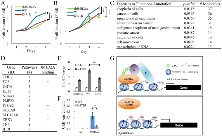 JMJD2A SUMOylation affects the expression of cellular genes involved in cancer. (A and B) WT JMJD2A but not its K471R mutant rescue proliferation of JMJD2A knockdown SLK (A) and BCBL-1 (B) cells. (A) SLK cells were sequentially infected with lentivirus expressing JMJD2A shRNA and Flag-tagged WT or K471R of JMJD2A. Cell proliferation was assessed by MTT assay. (B) Proliferation of TREx-MH-K-Rta-shJMJD2A, shJMJD2A-Flag-JMJD2A-WT and -K471R BCBL-1 cell lines was assessed by MTT assay. (C) Gene function analysis of cellular genes less upregulated in SUMOylation-deficient JMJD2A mutant (K471R) compared to JMJD2A-WT 24 hrs after KSHV reactivation. Gene list was shown in S7 Table . (D) Genes present in more than five identified functional pathways in (C). The plus (+) indicates genes with JMJD2A binding on the promoter region (transcription start site (TSS) ± 500bp). Gene list was shown in S8 Table . (E) RT-qPCR verification of TBX3 expression in TREx-MH-K-Rta-shJMJD2A, -shJMJD2A-Flag-JMJD2A-WT and -K471R BCBL-1 cells. (F) qPCR was performed with ChIP DNA from Fig 6A using primer pairs specific for promoter region of TBX3 (G) Schematic diagram illustrates the SUMO modification of JMJD2A in regulation gene transcription during KSHV reactivation.