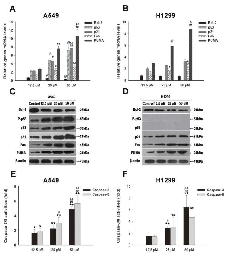 FX induced G 0 /G1 arrest and apoptosis through regulating p21 waf1/cip1 , p53, Bcl-2, PUMA and Fas. Total cell RNA was extracted from A549 ( A ) and H1299 ( B ) cells after treating with FX (0, 12.5, 25, 50, 75 and 100 μM) for 48 h. Corresponding mRNA levels of p53, p21 waf1/cip1 , Bcl-2, PUMA and Fas genes were determined using qRT-PCR. Results were shown as the relative expression ratio of genes in A549 and H1299 cells, respectively. Western blot analysis of cell cycle arrest and apoptosis related proteins: p53, P-p53, PUMA, p21 waf1/cip1 , Fas and Bcl-2, were performed after A549 ( C ) and H1299 ( D ) cells harvested after exposing to various concentrations of FX (0, 12.5, 25, 50 μM). Effects of FX on caspase-3/8 activities in A549 ( E ) and H1299 ( F ) cells were measured after 48 h of exposure similar to panel C/D by colorimetric method. When presented, means and standard deviations were obtained from three independent experiments. * p