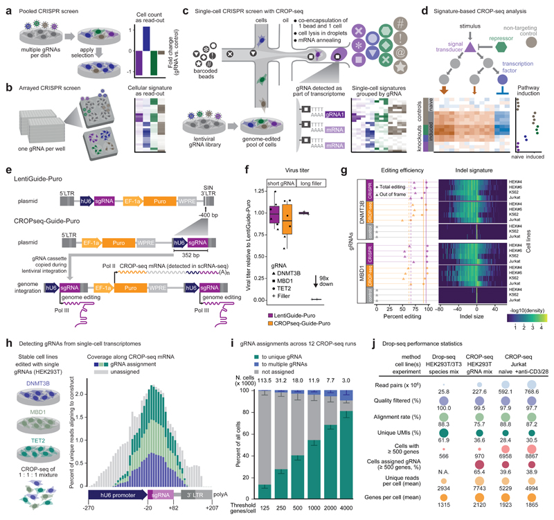 CROP-seq enables pooled CRISPR screening with single-cell transcriptome readout a) Pooled screens detect changes in gRNA abundance among bulk populations of cells, which limits them to simple readouts based on cell frequencies. b) Arrayed screens support complex readouts such as transcriptome profiling, but cells transduced with different gRNAs have to be physically separated. c) CROP-seq uses droplet-based single-cell RNA-seq to profile each cell's transcriptome together with the expressed gRNA, and knockout signatures are derived by averaging across cells that express gRNAs for the same target gene. d) Data analysis identifies pathway signature genes and quantifies the effect of specific gRNAs on these signatures. e) The CROP-seq lentiviral construct includes a gRNA cassette within the 3' long terminal repeat (LTR), which is duplicated during viral integration. It expresses an RNA polymerase III transcript for genome editing and a polyadenylated RNA polymerase II transcript detected by single-cell RNA-seq. f) Cloning the hU6-gRNA cassette into the 3' LTR to generate CROPseq-Guide-Puro does not compromise lentiviral function for gRNAs. In contrast, 1,885 bp of filler DNA result in a 98-fold reduction of the viral titer. g) Genome editing efficiencies and indel signatures are highly similar between LentiGuide-Puro and CROPseq-Guide-Puro. h) CROP-seq can detect gRNAs from single-cell transcriptomes. i) The rate of successful gRNA assignments is associated with single-cell transcriptome quality, expressed as the number of detected genes per cell. Most cells were assigned to one gRNA, except for a small fraction of cell doublets. Error bars, 95% CI. j) Performance statistics across all CROP-seq experiments.
