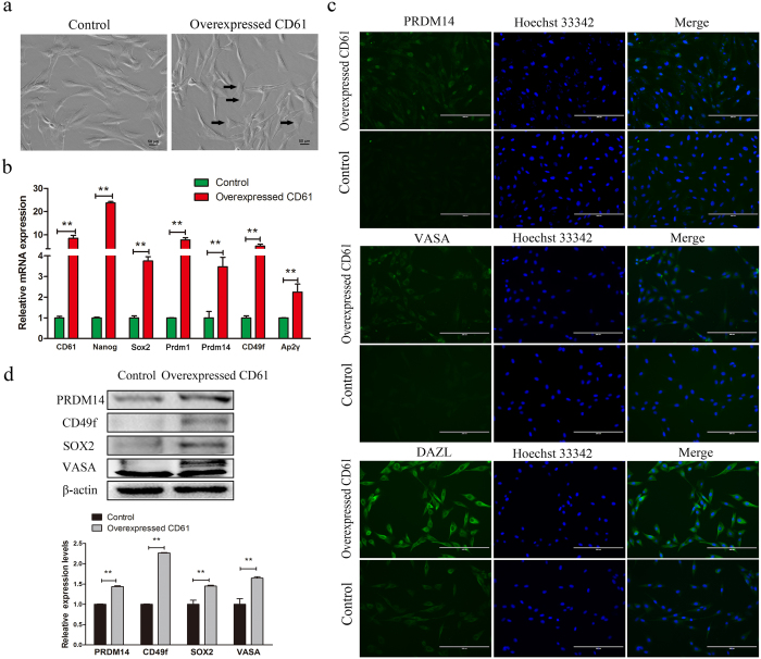 Morphology and expression of primordial germ cell (PGC)-related markers in CD61- overexpressed cells and control cells. ( a ) The morphology of CD61-overexpressed cells and control cells. Canine adipose-derived mesenchymal stem cells (cADMSCs) with overexpression of CD61 became short spindle-shaped or triangular. ( b ) Gene expression ( CD61, Nanog, SOX2, Prdm1, Prdm14, CD49f and Ap2γ ) of control and CD61- overexpressed cells was detected by QRT-PCR. **P