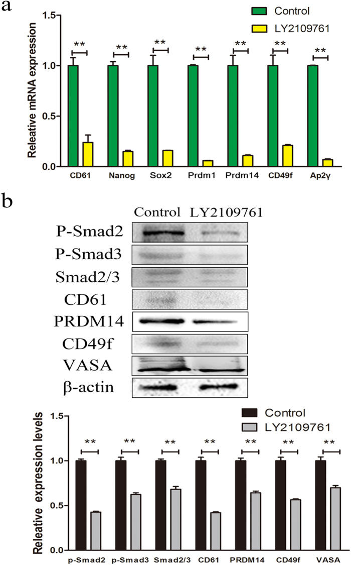 Expression of PGC-related markers in LY2109761-treated cells and control cells. ( a ) PGC-related markers CD61, Prdm1, Prdm14, CD49f, Ap2γ and stem cell markers Nanog and Sox2 were examined by QRT-PCR in LY2109761-treated cells and control cells. **P