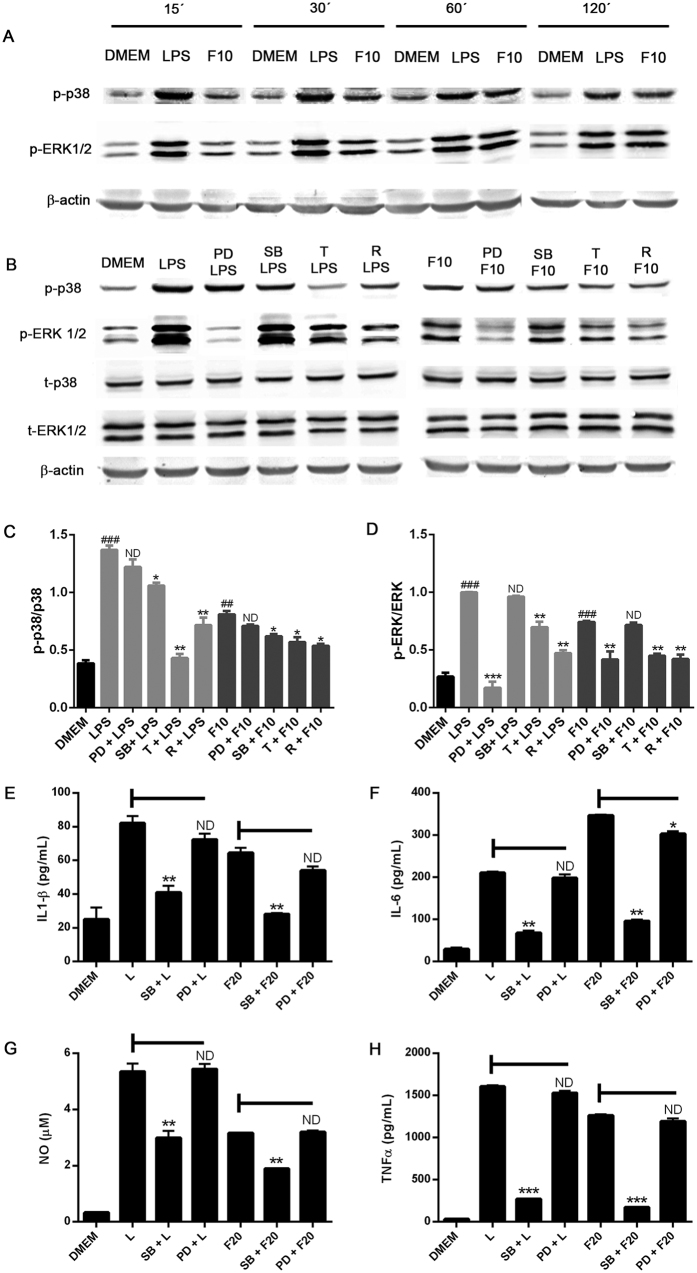 Autophagy modulation of p38 and ERK signalling in LPS and α-synuclein-stimulated BV2 microglial cells. ( A ) BV2 cells were stimulated with LPS (0,5 ug/mL) or alpha-synuclein fibers (10 uM) for 15 to 120 minutes. ( B ) BV2 cells were cultured in the presence or absence of PD98059 (50 uM) SB202190 (20 uM) for 1 h or treated with rapamycin (100 nm) or trehalose (30 mM) for 24 h. After that, microglial cells were stimulated with LPS (0,5 ug/mL) or alpha-synuclein fibers (10 uM) for 30 and 60 minutes, respectively. Cells were lysed and p38, p-p38, ERK1/2, p-ERK1/2 and b-actin levels were analysed by Western immunoblotting. Quantification by densitometry of p-p38 ( C ) or p-ERK1/2 ( D ) from B relative to p38 or ERK1/2, respectively. (One-way ANOVA followed by Post-Hoc Dunnet's test; n = 3). Error bars represent SEM (*P