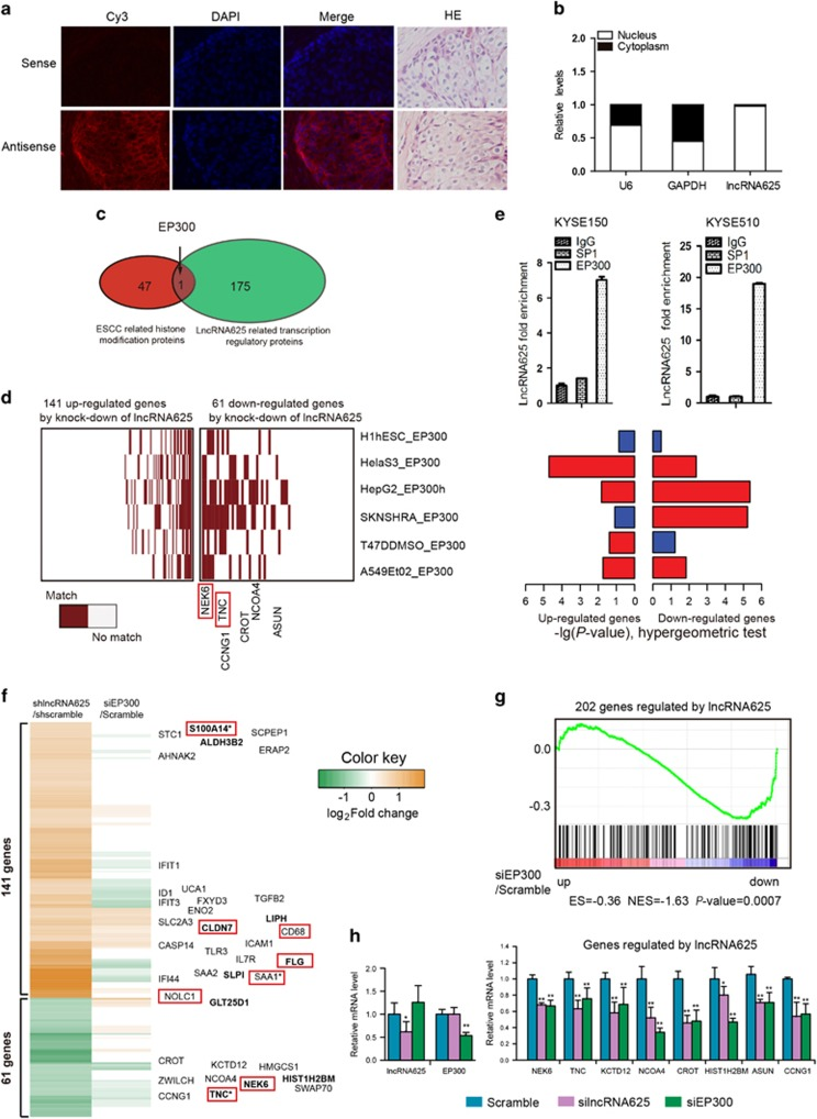 LncRNA625 interacts with EP300 to regulate downstream target genes. ( a ) LncRNA625 is located in the cytoplasm and nucleus of tumor tissue. Sense or antisense probe for lncRNA625 FISH were synthesized by in vitro transcription of T7 RNA polymerase, and 3 μm serial slides of ESCC tissues were hybridized with sense or antisense probes conjugated with biotin. Subsequently, the biotin signal was determined with Cy3-conjugated streptavidine. DAPI staining for was for nuclei, and haematoxylin and eosin staining was for tumor histomorphology. Scale bar: 40 ×. ( b ) Cytoplasmic and nuclear RNAs were isolated from KYSE510 cells, and lncRNA625 was detected by real-time RT–PCR. Levels of U6 snRNA (nuclear control transcript) and GAPDH (cytoplasmic control transcript) were detected by real-time RT–PCR. Values are mean±s.e. ( c ) Venn diagram showing the overlap between ESCC-related histone modification proteins and lncRNA625-related transcription regulatory proteins. ( d ) Comparison of 202 differentially expressed genes following silencing lncRNA625 in KYSE150 cells vs. a compendium of UCSC-published EP300 occupancy profiles in diverse cell types. ( e ) LncRNA625 interacts with EP300. RNA immunoprecipitation assays for EP300 were performed and RNA was extracted with 1 ml TRIzol, and lncRNA625 was detected by real-time RT-PCR in both KYSE150 and KYSE510 ESCC cells. IgG and SP1 were used as negative controls in the experiment. ( f ) Gene expression profile analysis was performed after either lncRNA625 or EP300 knockdown in KYSE 150 cells. Genes with  log 2 FC  > log 2 1.5, after lncRNA625 knockdown, are displayed in the heat map. ( g ) GSEA plot showing that genes regulated by lncRNA625 were enriched in the expression profile after knocking down EP300. In particular, those genes downregulated after knocking down EP300 received a high enrichment score. ( h ) qRT–PCR of a representative panel of genes in scrambled, silncRNA625 and siEP300 cells (error bars are s.d., n =6). Genes 