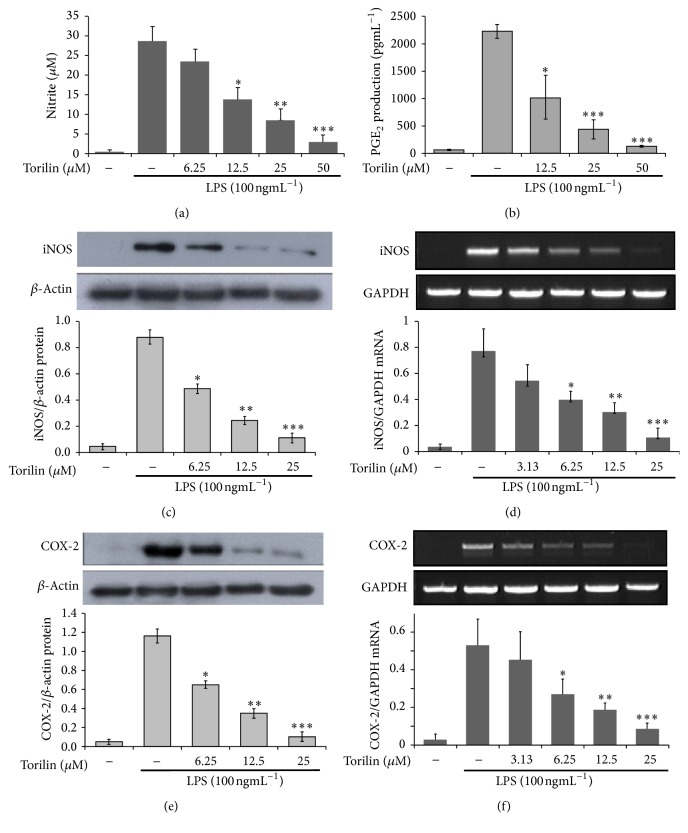 Torilin inhibits LPS-induced NO release, PGE2 secretion, and protein as well as mRNA expression of iNOS and COX-2 enzymes. RAW 246.7 macrophages were pretreated with torilin or vehicle for 30 min and stimulated with LPS for 18 or 24 h. (a) Cell culture supernatants were analyzed for nitrite release, as a measure of NO production. (b) PGE 2 secretion in culture media was analyzed in torilin treated RAW cells as described in Materials and Methods. After 24 h of stimulation for protein expression (c) and 18 h of stimulation for mRNA expression (d) were depicted, respectively. Again, COX-2 protein (e) and mRNA (f) were determined by western blot and RT-PCR, respectively. GAPDH and β -actin were used as controls for mRNA and protein loading, respectively. Images are representative of 3 or 4 independent experiments. Values in bar graphs are means ± SE of at least 4 independent experiments performed in triplicate. Significance was determined using Student's t- test versus the control group. ∗ P