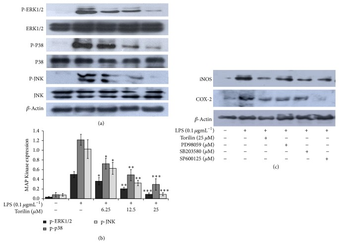 Effect of torilin on mitogen activated protein kinase (MAPK) activation. LPS-stimulated RAW 264.7 macrophages were treated with vehicle or torilin (6.25–25 µ M) and stimulated with LPS for the indicated periods of time. Total protein was subjected to western blot analyses using total and phospho-anti-RK1/2, p38 MAPK , and JNK1/2 antibodies. Torilin suppressed phosphorylation of the three MAPKs (a and b). Cells were further pretreated with vehicle or PD98059 (30 µ M), ERK1/2 inhibitor, SB203580 (10 µ M), p38 MAPK inhibitor, or SP600125 (10 µ M), JNK1/2 inhibitor, with torilin and stimulated with 100 ngmL −1 LPS as indicated in (c). Significance was determined using Student's t- test versus the control group. Images are representative of 3 or 4 independent experiments. Values in bar graphs are means ± SE of at least 4 independent experiments performed in triplicate. ∗ P