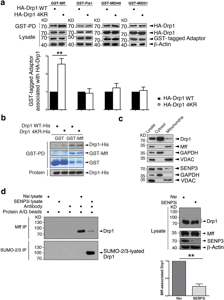 Drp1 SUMOylation selectively reduces binding to Mff. ( a ) Non-SUMOylatable HA-Drp1 shows enhanced association with GST-Mff. HA-Drp1 or HA-Drp1 4KR were transfected into HEK293 cells expressing GST-Mff, GST-Fis1, GST-MID49 or GST-MID51. GST-pull downs and lysates were immunoblotted with HA (for Drp1) and GST antibodies. The histogram shows ratio of Drp1 4KR to Drp1 binding to each receptor (For GST-Mff, n = 6; **P = 0.0042; for GST-Fis1, n = 5; P = 0.7749; For GST-MID49, n = 5; P = 0.4316; for GST-MID51, n = 5; P = 0.6926; Paired Student's test). ( b ) In vitro , in the absence of SUMO, non-SUMOylatable Drp1-His and wild type Drp1-His show similar binding ability to GST-Mff. GST-PD was performed following incubation of His-tagged Drp1 or its 4KR mutant with either recombinant GST or GST-Mff. GST-pull downs and purified proteins were separated on different lanes in the same gels and immunoblotted with a Drp1 antibody. <t>PVDF</t> was stained with coomassie blue for GST or GST-Mff. ( c ) Cytosolic and mitochondrial localisations of Drp1, Mff and SENP3 in HEK293 cells. Drp1 and SENP3 are predominantly cytoplasmic under basal conditions and Mff is exclusively mitochondrial. GAPDH is a cytosolic marker and VDAC is a mitochondrial marker. ( d ) SENP3 knockdown, which promotes Drp1 SUMOylation, decreases the interaction between endogenous Drp1 and Mff. SENP3 siRNA (SENP3i) or non-specific siRNA (Nsi) was transfected in HEK293 cells followed by IP of Mff and SUMO-2/3. β-actin was used as a loading control. The histogram shows the degree of inhibition of Drp1 binding to Mff (n = 3; **P = 0.0091; Paired Student's test).