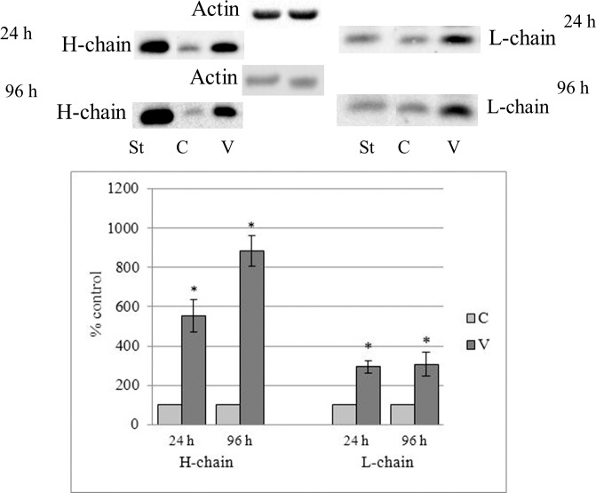 Western blot analysis of ferritin H- and L-chains in the lysates of control (C) and vitreous-treated LEC (V). Confluent LEC were cultured in DMEM with 10% FBS with (V) or without (C) 33% (vol/vol) of vitreous humor for 24 or 96 hours. LEC lysates containing 35 to 50 μg protein were separated by 12% SDS-PAGE, under reducing conditions, using a Tris/Tricine buffer system and transferred to nitrocellulose membranes. Purified canine heart ferritin was used as standard (St) for ferritin chains. Blot was reprobed with HRP-goat anti-human β-actin as a loading control and evaluated with ChemiDoc MP Imaging System. The significance of differences was determined by paired t -test. Data represent the mean ± SEM; n = 11; statistically different from corresponding C, * P