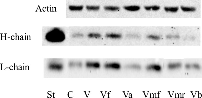 Western blot analysis of ferritin H- and L-chains in the lysates of LEC treated with differentially processed fractions of vitreous humor. LEC were treated for 24 hours without (C) or with 33% of vitreous humor (V) and with equivalent amount of differentially processed vitreous fractions, in DMEM containing 10% FBS. Vf, vitreous humor filtered through glass wool; Va, acetone precipitate of Vf dissolved in complete DMEM; Vmf, Microcon 10 filtrate of Vf ; Vmr, Microcon 10 retentate of Vf; Vb, Vf boiled for 10 minutes. Cell lysates containing 35 to 50 μg protein were separated by 12% SDS-PAGE, under reducing conditions, using a Tris/Tricine buffer system and transferred to nitrocellulose membranes. Purified canine heart ferritin was used as standard (St) for ferritin chains. After Western transfer to a nitrocellulose membrane, ferritin chains were immunodetected with canine chain–specific custom-made antibodies. Blots were reprobed with HRP-goat anti-human β-actin as a loading control and evaluated with ChemiDoc MP Imaging System. The blot shown is representative of two experiments.